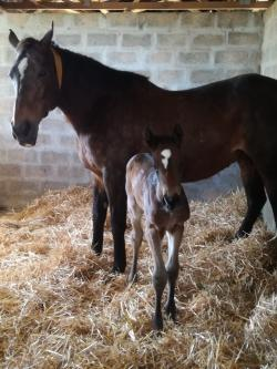 Mare Estiamda Stallion Querari 2018 Filly