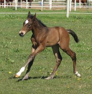 estimada thoroughbred filly