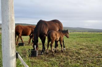 broodmare and weanling in paddocks grazing on lucerne
