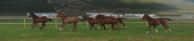 Yearlings excersiing in paddocks
