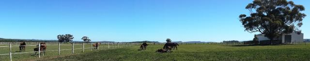 Thoroughbreds roaming the Favourstud Paddocks