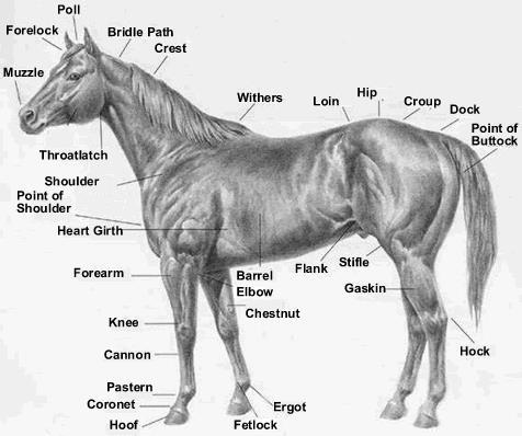Conformation and description of the Thoroughbred Race Horse