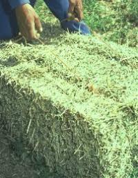 Lucerne bales fed to thoroughbred horses