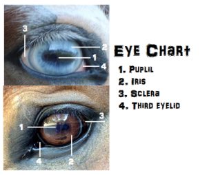 Eye chart for vision in horses