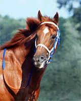 Secretariat Thoroughbred Racing Horse