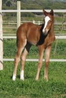 Thoroughbred Foal on Favourstud