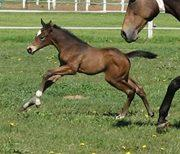Thoroughbred mare and foal