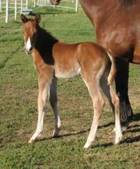 Thoroughbred Race horse foal