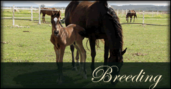 Thoroughbred horse breeding