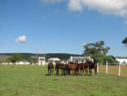 thorouighbred yearlings in paddocks